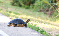 Suwanee River Cooter