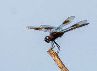 One of the hundreds of dragonflies.