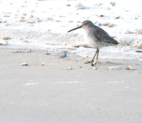 A Dowitcher out of the Water