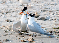 A (Royal) Tern of Events