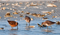 A triad of Dowitchers