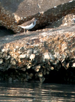 A Solitary Little Sandpiper