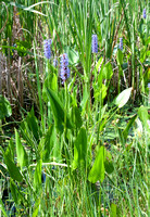 Pickerelweed in Plum Orchard Pond