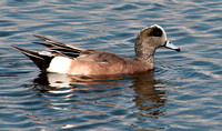The American Wigeon